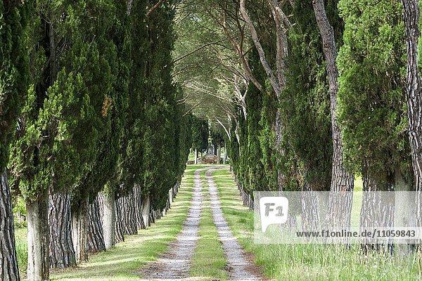 Allee mit grünen Pinien und Zypressen  San Quirico d'Orcia  Toskana  Italien  Europa