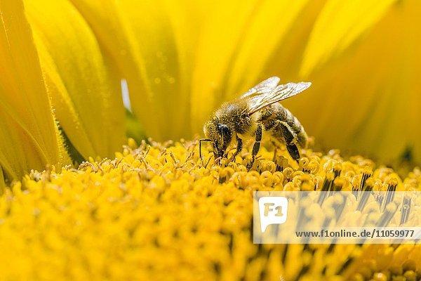 Kärntner Biene (Apis mellifera carnica) sammelt Nektar an einer Sonnenblume (Helianthus annuus)  Sachsen  Deutschland  Europa