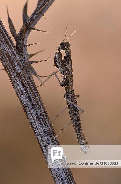 Weibchen einer Grauen Fangschrecke (Ameles decolor)  Alentejo  Portugal  Europa
