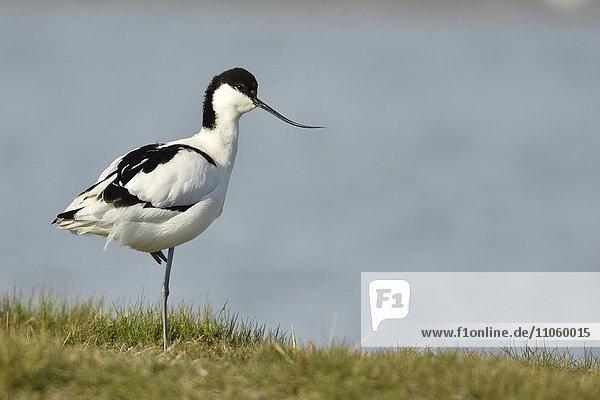Säbelschnäbler (Recurvirostra avosetta) im Prachtkleid  steht im Wasser  Naturschutzgebiet Wagejot  Texel  Nordholland