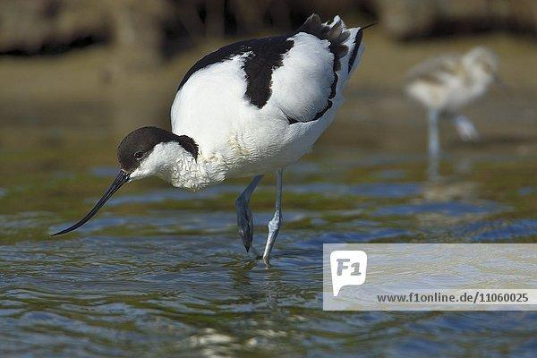 Säbelschnäbler (Recurvirostra avosetta) im Prachtkleid mit Küken bei der Futtersuche am Wagejot  Texel  Provinz Nordholland  Holland  Niederlande  Europa