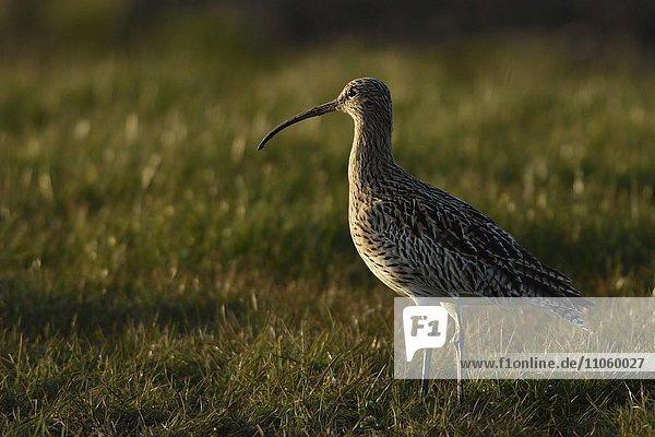 Großer Brachvogel (Numenius arquata) steht in einer Wiese  Texel  Nordholland  Niederlande  Europa