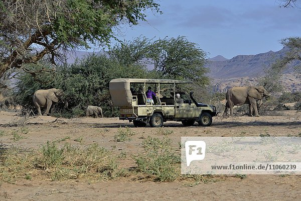 Touristen beobachten Wüstenelefanten  Afrikanische Elefanten (Loxodonta africana)  Trockenflussbett des Huab  Damaraland  Namibia  Afrika