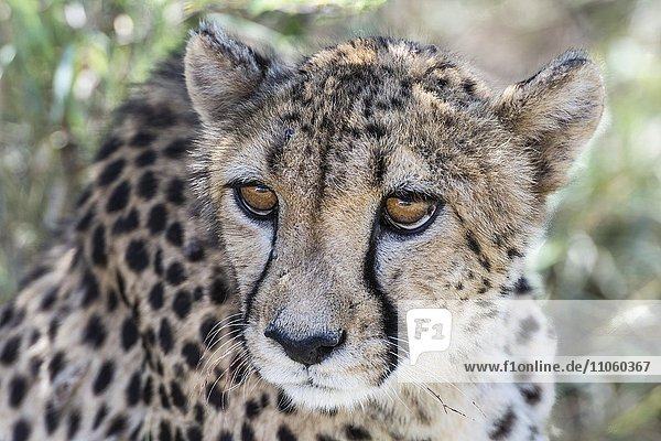 Gepard (Acinonyx jubatus)  Waterberg  Namibia  Afrika