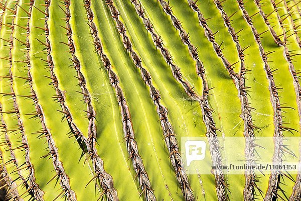 Echinocactus platyacanthus (Echinocactus platyacanthus)  Nahaufnahme  Jardin de Cactus  Guatiza  Lanzarote  Kanarische Inseln  Spanien  Europa Echinocactus platyacanthus (Echinocactus platyacanthus), Nahaufnahme, Jardin de Cactus, Guatiza, Lanzarote, Kanarische Inseln, Spanien, Europa