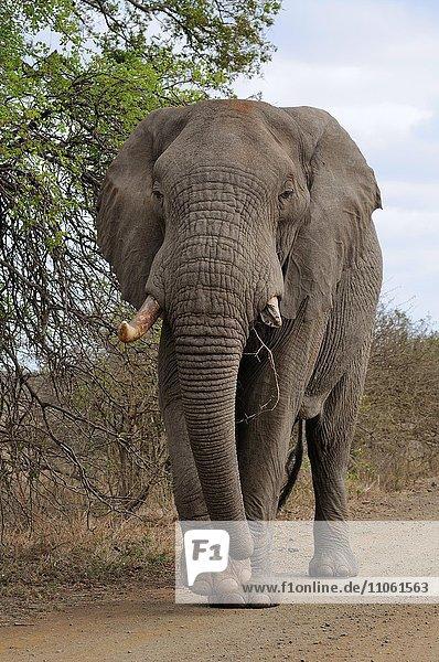 Afrikanischer Elefant (Loxodonta africana)  Elefantenbulle mit einem abgebrochenem Stoßzahn auf einer Schotterstraße  Krüger-Nationalpark  Südafrika