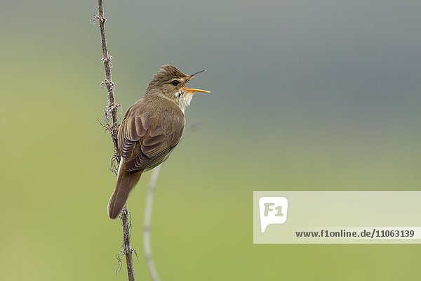 Marsh Warbler (Acrocephalus palustris) calling  male on song post  Middle Elbe Biosphere Reserve  Saxony-Anhalt  Germany  Europe