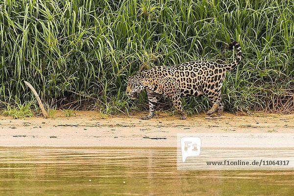 Jaguar (Panthera onca) unterwegs am Flussufer  Pantanal  Brasilien  Südamerika