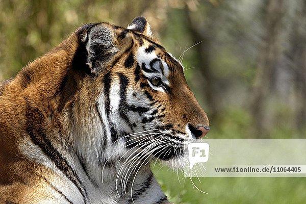 Indian Tiger (Panthera tigris)  portrait  captive