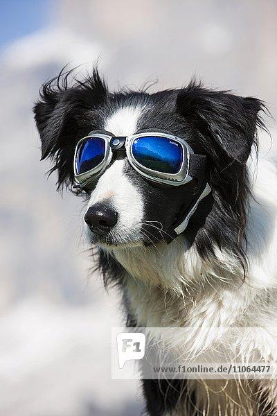 Border Collie  schwarz weiß  Portrait mit Gletscherbrille