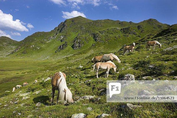 Haflinger weiden auf der Sintersbach Hochalm  Lehmfuchs  Kitzbühler Alpen  Tirol  Österreich  Europa