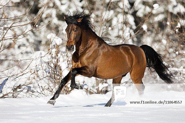 PRE Pferd  Brauner galoppiert im Schnee im Winter  Österreich  Europa