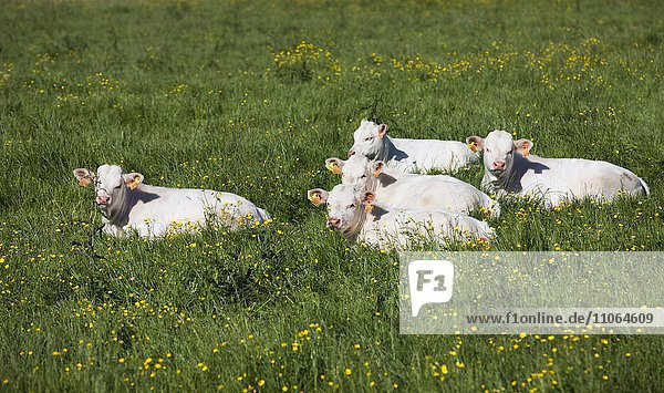 Charolais cattle  calves lying in a meadow  Brittany  France  Europe