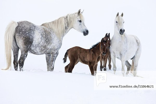 Purebred Arabian horses  mares with foals in the snow  Gray  Tyrol  Austria  Europe