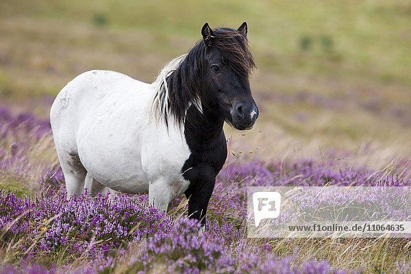 Dartmoor Hill Highland Pony  schwarz weiß gescheckt  blühende Heide  Heidelandschaft  Dartmoor Nationalpark  Devon  Großbritannien  Europa