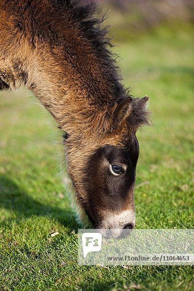 Exmoor-Pony  Fohlen beim Grasen  Exmoor-Nationalpark  Somerset  England  Großbritannien  Europa