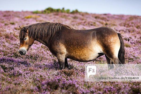 Exmoor-Pony  Blühende Heide  Heidelandschaft  Exmoor-Nationalpark  Somerset  England  Großbritannien  Europa