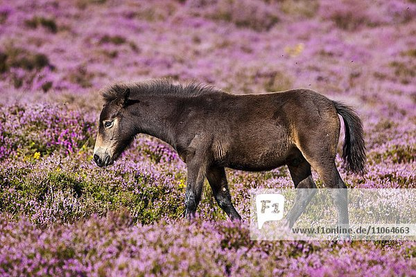 Exmoor-Pony  Fohlen  blühende Heide  Heideandschaft  Exmoor-Nationalpark  Somerset  England  Großbritannien  Europa