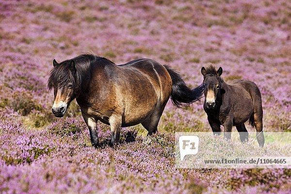 Exmoor ponies  mare with foal  Blooming heather  moorland  Exmoor National Park  Somerset  England  United Kingdom  Europe