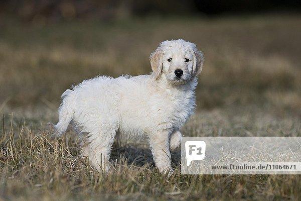 Goldendoodle steht auf der Wiese  Welpe  Hybridhund  Tirol  Österreich  Europa
