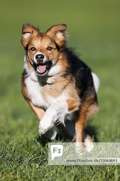 Mixed-breed Dog  running in meadow  North Tyrol  Austria  Europe