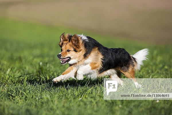 Mixed-breed Dog  mongrel running in meadow  North Tyrol  Austria  Europe
