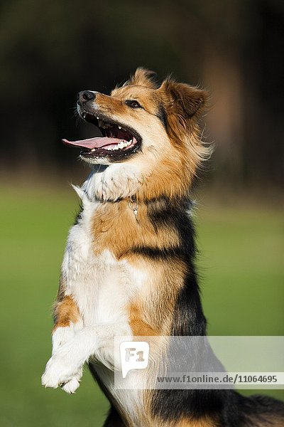 Mongrel Dog standing on its hindlegs  sit up and beg  portrait  North Tyrol  Austria  Europe