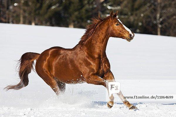 Hanoverian horse  fox  brown  reddish fur  galloping in the snow  Tyrol  Austria  Europe