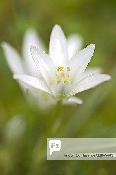 Milchstern  Stern von Bethlehem (Ornithogalum ssp.)  Su Gologone Quelle  Oliena  Sardinien  Italien  Europa