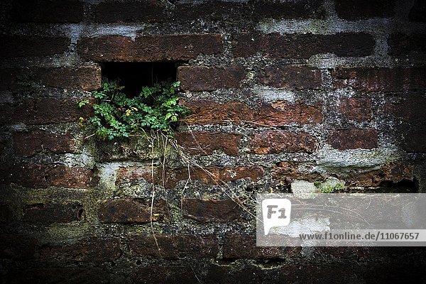 Backsteinmauer mit Gewächs  Mindelheim  Unterallgäu  Bayern  Deutschland  Europa