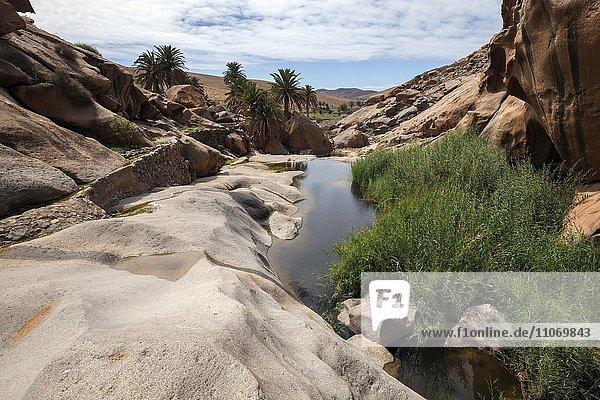 Flusslauf mit Schilf im Barranco de las Penitas  nahe Vega de Rio Palmas  Fuerteventura  Kanarische Inseln  Spanien  Europa