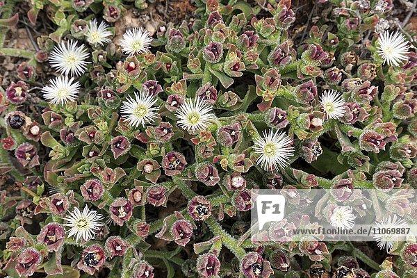 Eiskraut  Sodapflanze  Kristall-Mittagsblume (Mesembryanthemum crystallinum)  Fuerteventura  Kanarische Inseln  Spanien  Europa Eiskraut, Sodapflanze, Kristall-Mittagsblume (Mesembryanthemum crystallinum), Fuerteventura, Kanarische Inseln, Spanien, Europa