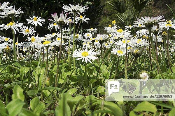 Viele Gänseblümchen (Bellis perennis)  Froschperspektive  Baden-Württemberg  Deutschland  Europa