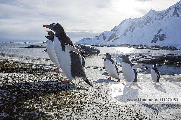 Eselspinguine (Pygoscelis papua) auf Felsen  antarktische Region  Antarktische Halbinsel  Antarktis  Antarktika Eselspinguine (Pygoscelis papua) auf Felsen, antarktische Region, Antarktische Halbinsel, Antarktis, Antarktika