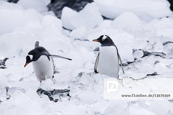 Eselspinguine (Pygoscelis papua) zwischen Eis und Steinen  Antarktische Halbinsel  Antarktis  Antarktika