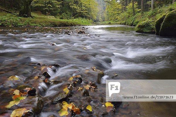Flusslauf der Polenz durch das Polenztal  Gebirgsbach im Herbst  Sächsische Schweiz  Elbsandsteingebirge  Sachsen  Deutschland  Europa