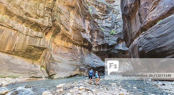 Wanderer laufen im Fluss  Zion Narrows  Engstelle des Virgin River  Steilwände des Zion Canyon  Zion Nationalpark  Utah  USA  Nordamerika