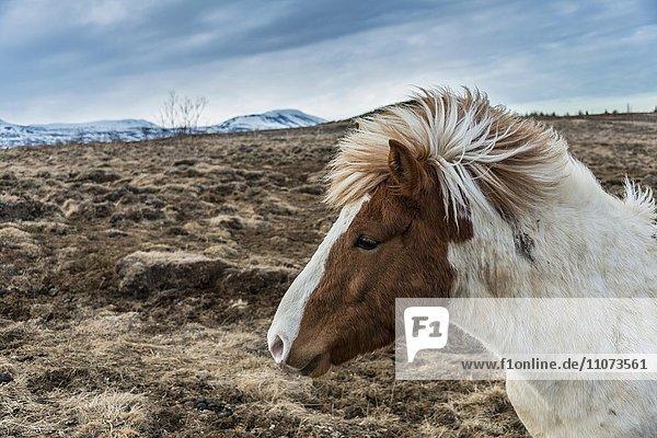 Brown Icelandic horse  Icelandic horse breed (Equus islandicus)  portrait  Southern Region  Iceland  Europe