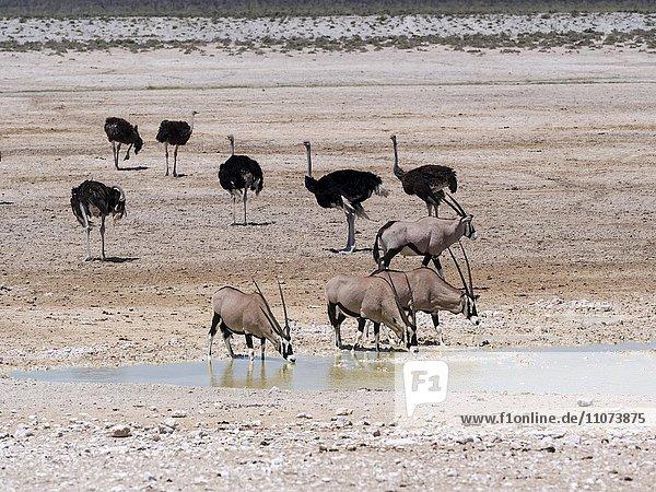 Oryxantilopen (Oryx gazella) und Afrikanische Strauße (Struthio camelus) an wasserstelle in trockener landschaft  Etosha Nationalpark  Namibia  Afrika