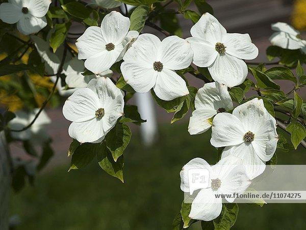 Blütenstand von Nuttalls Blüten-Hartriegel (Cornus nuttallii)  Mecklenburg-Vorpommern  Deutschland  Europa