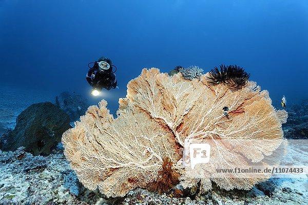 Taucher mit großer Gorgonie (Annella mollis)  Großes Barriereriff  Queensland  Cairns  Pazifischer Ozean  Australien  Ozeanien