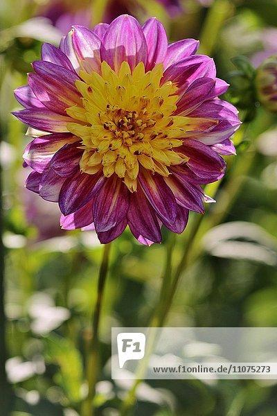 Gartendahlie (Dahlia)  Sorte Boogie Woogie  rosa-gelbe Blüte  Nordrhein-Westfalen  Deutschland  Europa