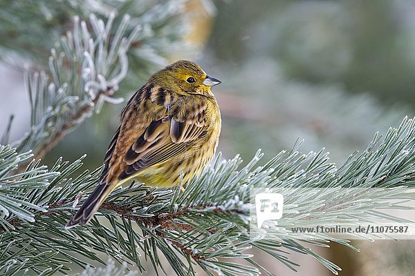 Yellowhammer (Emberiza citrinella) on pine branch with hoarfrost,  Tyrol,  Austria,  Europe