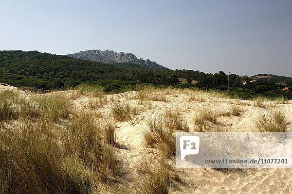Gewöhnlicher Strandhafer (Ammophila arenaria) auf Wanderdüne  Düne von Bolonia  Parque Natural del Estrecho  Provinz Cadiz  Andalusien  Spanien  Europa