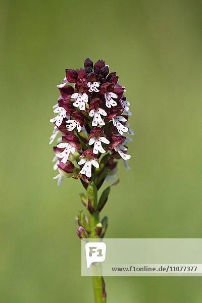 Brandknabenkraut  Brand-Knabenkraut (Orchis ustulata)  blühende Orchidee  Nationalpark Balaton-Oberland  Balaton Felvidéki Nemzeti Park  Balaton  Plattensee  Ungarn  Europa