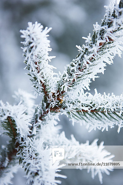 Close-up of snow covered spruce tree branch