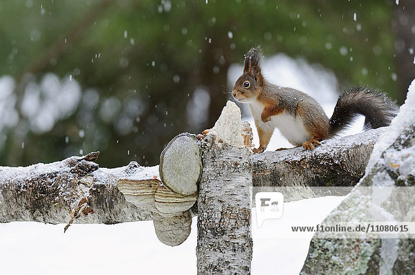 Red squirrel on wooden fence