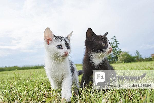Zwei Kätzchen auf einer Wiese  Bayern  Deutschland  Europa Zwei Kätzchen auf einer Wiese, Bayern, Deutschland, Europa