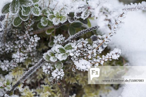Nahaufnahme von frostbedeckten Pflanzen auf dem Feld