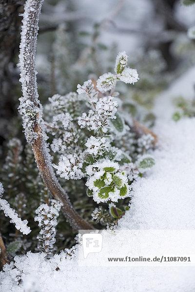 Nahaufnahme von gefrorenen Pflanzen auf dem Feld